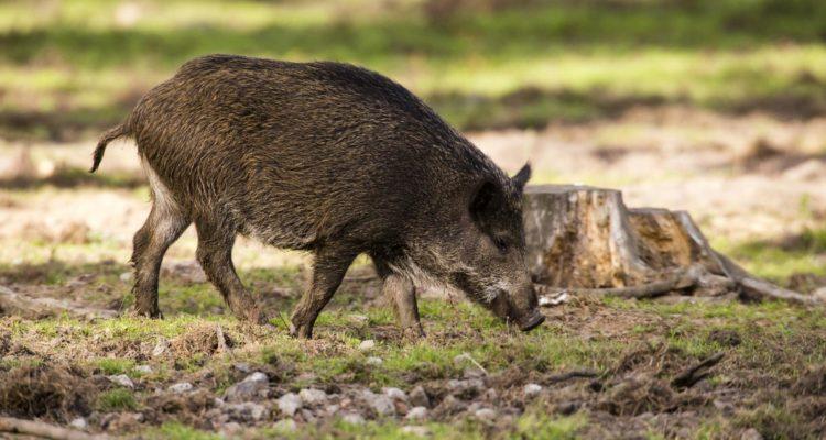Imatge d'arxiu d'un porc senglar. Foto: Leopoldo de Castro / Flickr